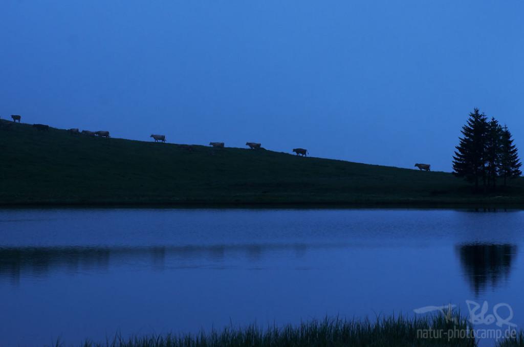 Kühe auf dem Weg zur Arbeit - Milch abgeben um 5:30 Uhr