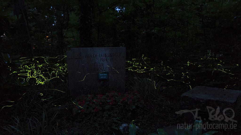 Glühwürmchen Leuchtkäfer