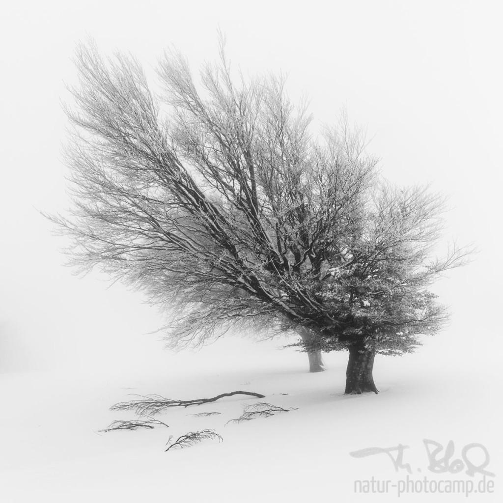 Wunschmotiv - Windbuchen im Schnee